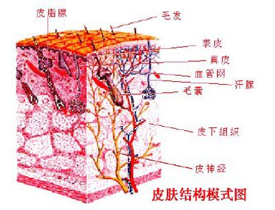 真皮以及皮下组织三大层组成